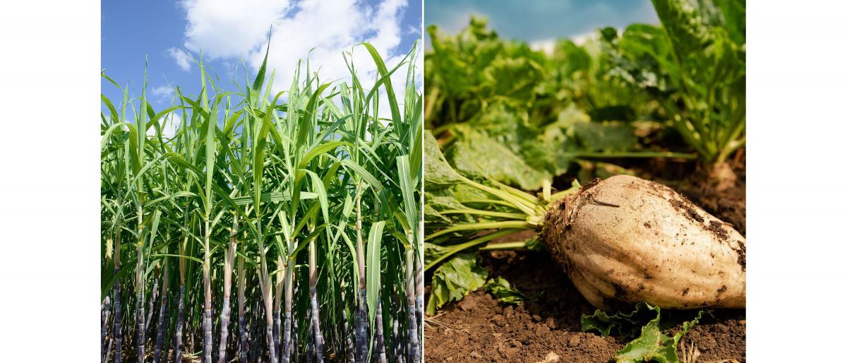Zuckerrohr und Zuckerrüben