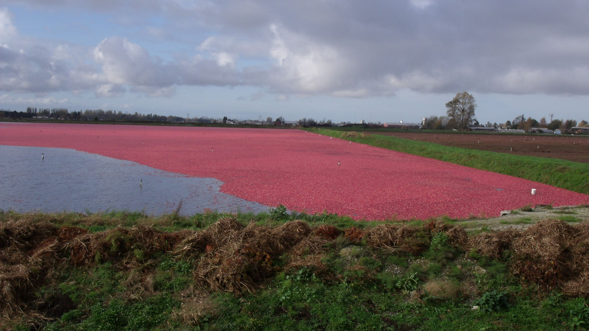 KSB submersible motor pumps support cranberry cultivation